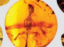 Chameleon in amber sheds light on Cretaceous diversity